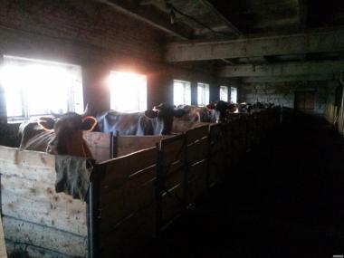 Продам 9 молочных коров!