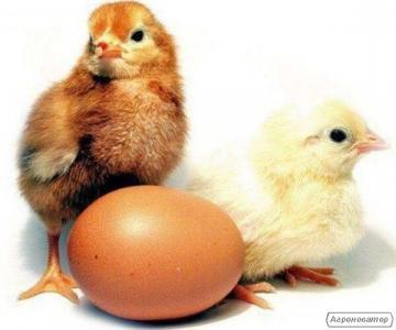 Інкубаційні яйця курей Несучок Домінант. Курчата курей несучок.