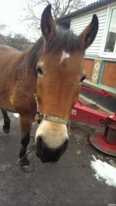 Кінь Молода Кобила 5 років Прекрасний Стан Хороший догляд Навчена