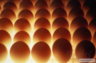 Реалізуємо інкубаційне яйце м'ясо-яєчних порід