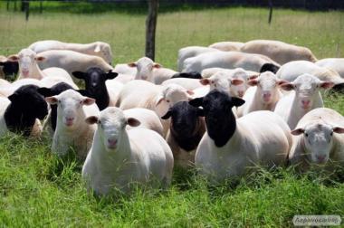 Куплю овец следующих пород