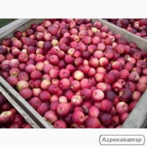 Продам яблука 20т