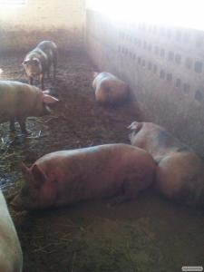 Продаємо свиней