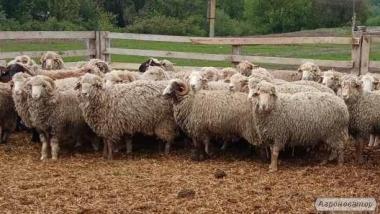 Овцы, бараны.