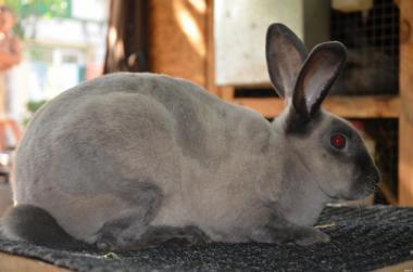 продам кролики