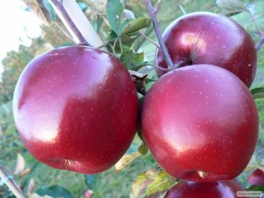 Продам саженцы плодовых, орехи и др. Ковель