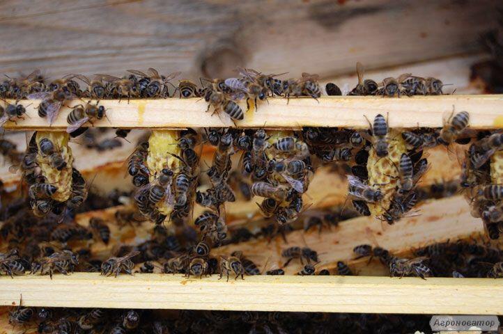 Матка Карпатка 2019 ПЛОДНЫЕ ПЧЕЛОМАТКИ (Бджоломатка, Пчелиные матки)