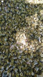 Бджолосім'ї українська степова