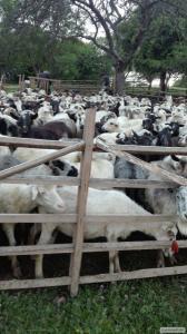 Продам 300 овець жива вага