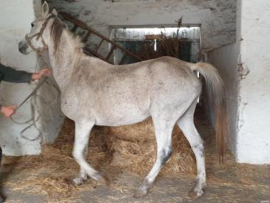 Кінь (лоша та кобили) чистокровної арабської породи
