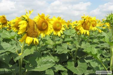 насіння гібридів соняшника