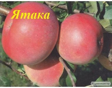 Саженцы яблони сорта Ятака, от производителя, отличного качества.