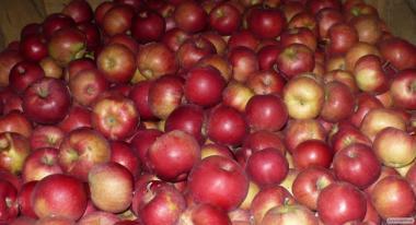 Продам яблука оптом