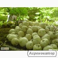 лечебные грибы веселка и чага 100% качество