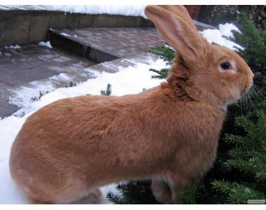 Продам кроликів породи Бургундської