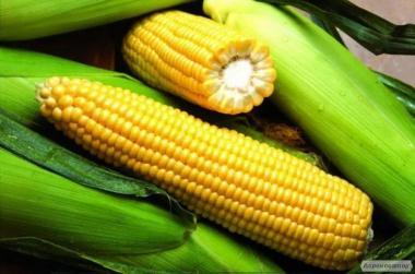 Продам семена гибридов подсолнечника и кукурузы.