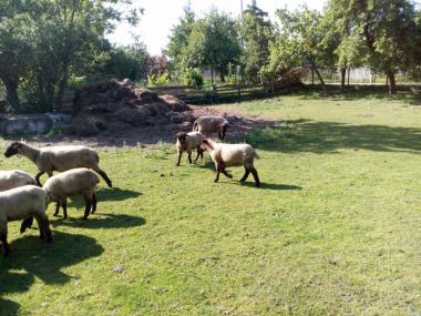Продаются овцы породы суфолк!