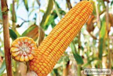 насіння кукурудзи Моніка