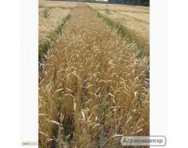 Насіння озимої пшениці - сорт Фаворитка. Еліта та 1 репродукція