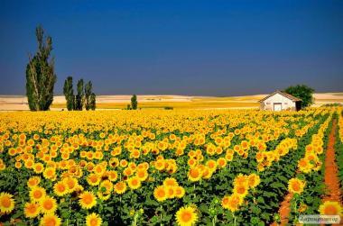 Пропонуємо насіння соняшнику під Евролайтинг