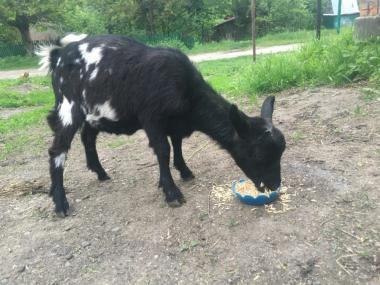 камерунские козы козлята