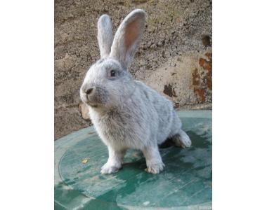 Продам кроликов породи БСС