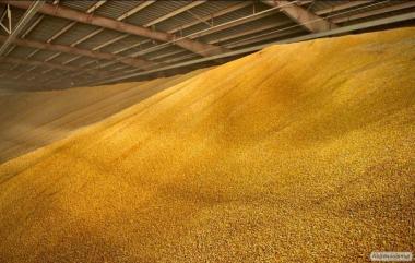 Срочно продам 400 т. кукурузы на хозяйстве