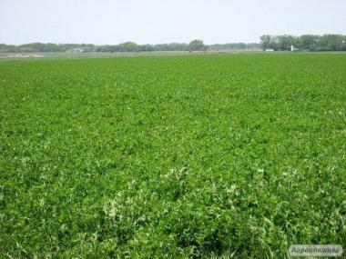 Продам насіння люцерни. В наявності не магниченные і магниченные.