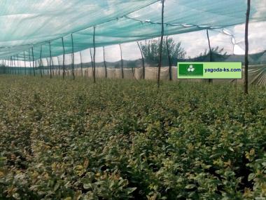 Саженцы Голубики Высокорослой из Сертифицированных питомников ЕС
