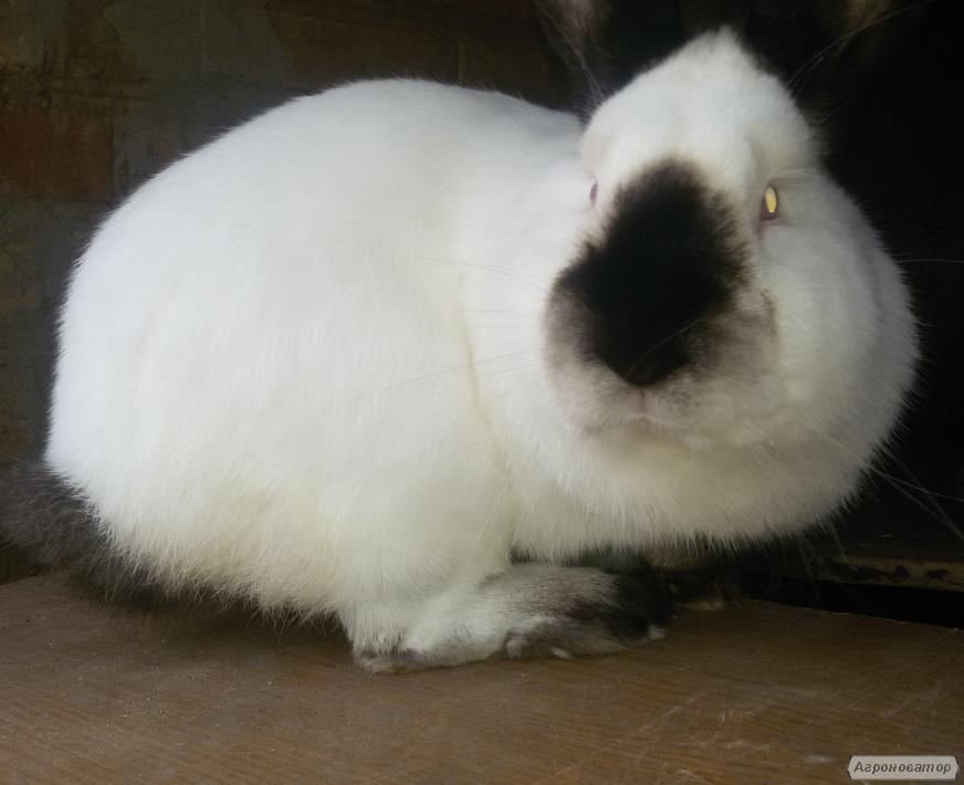 Кролики Каліфорнійської породи(від хороших виробників)