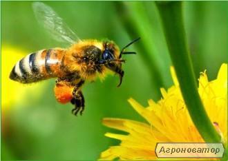Пчелосемья, бджолосім'я
