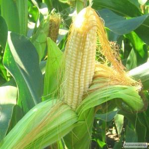 Семена кукурузы Порумбень 351