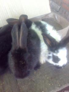 Кролики породи Голубий Строкач