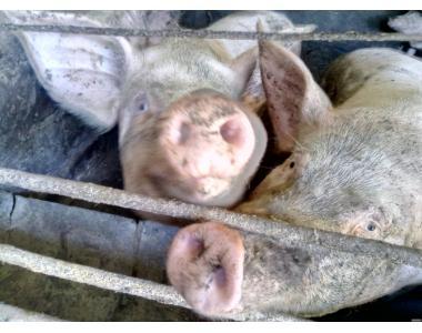 Продам свиней живым весом недорого!!!