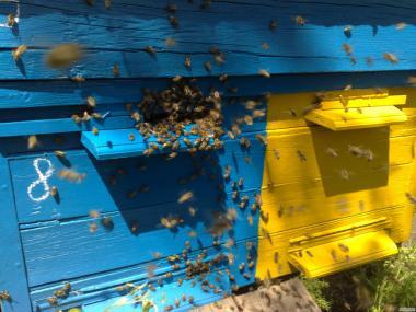 продам сильні бджолосімї