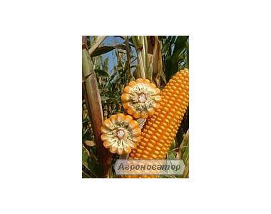 семена гибридов кукурузы  украинской селекции