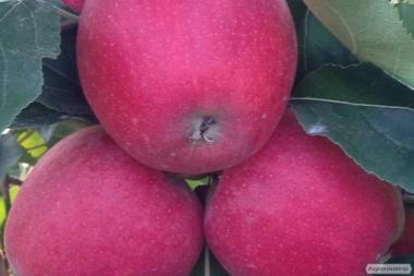 Саженцы яблони GALA SCHNIGA SCHNICO (Польша)