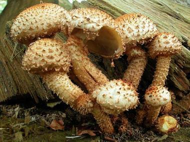 Міцелій Чешуйчатки звичайної / Чешуйчатка ворсиста (Pholiota squarrosa)