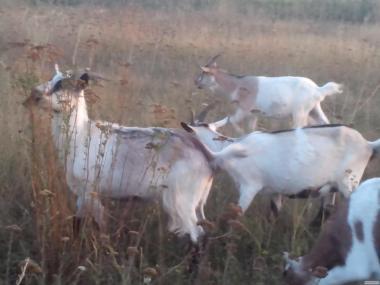 Продам молодых коз покрытых 100% нубийским козлом