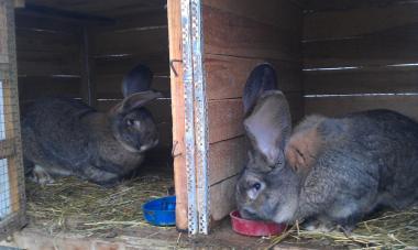 Продам кролів породи Бельгійський фландр.