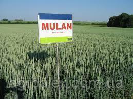 Мулан 1р пшеница озимая безостая