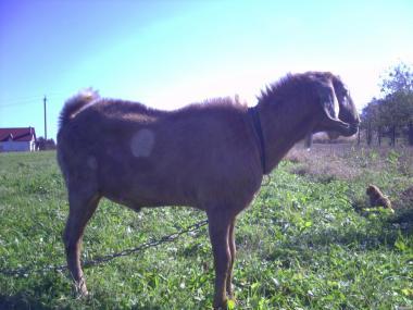 англо-нубийский козел,цап