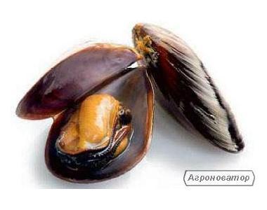 мідії в мушлях живі чорноморські