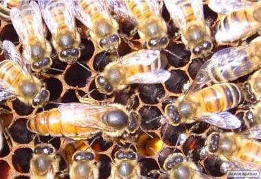 Пчеломатки итальянской породы