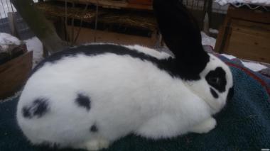 Кролики Німецький строкатий велетень (СТРОКАЧ)