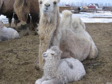 Продам верблюдів самок; Camel (female) for sale