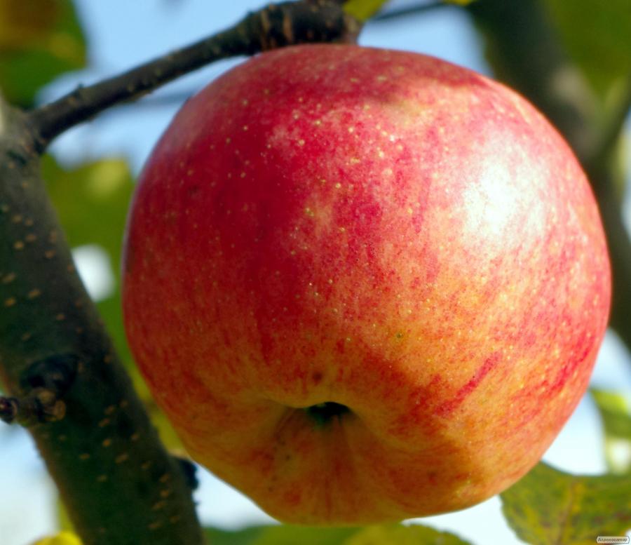 Саженцы яблони сорта Камео, от производителя, отличного качества