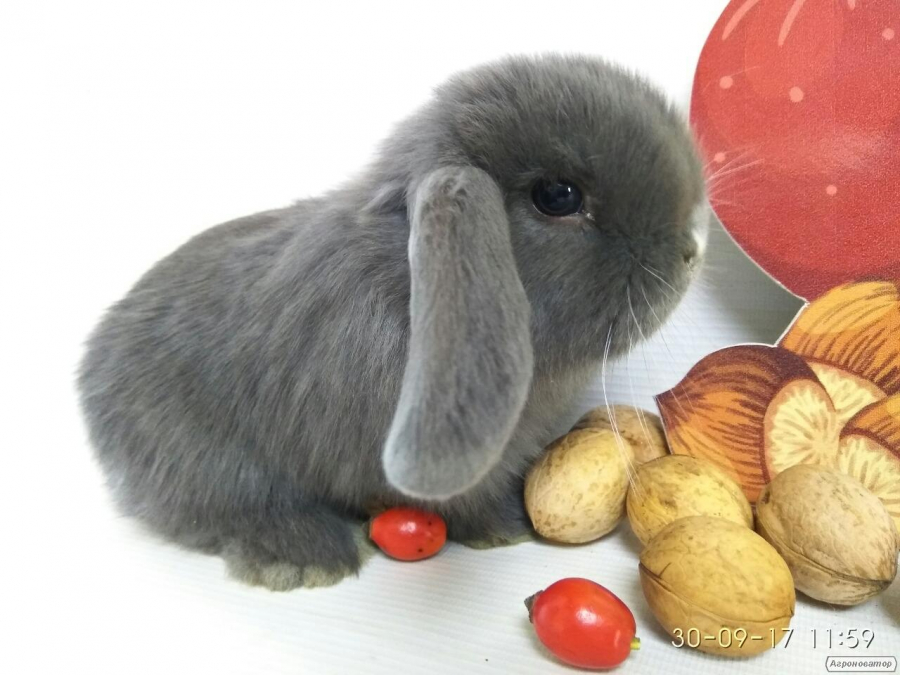 Карликові кролики з розплідника