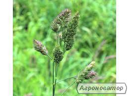 Семена Тимофеевки купить от 5 кг