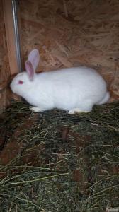 Продам кролів породи Білий панон